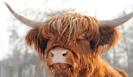 Scottish cattle. Close-up beautiful portrait scottish cattle Stock Photo