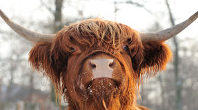 Scottish cattle. Close-up beautiful portrait scottish cattle Royalty Free Stock Images