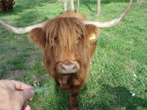 Scottish cattle. Walking towards camera Stock Image