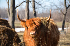 Scottish Cattle chewing hay staring at camera. Long red hair, long white horns represent the Highland Cattle used for meat in the USA. The Highland breed has Stock Photos