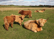 Scottish Cattle in a Green Pasture Stock Photo