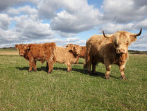 Scottish Cattle in a Green Pasture Stock Photography
