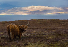 Scottish Cattle. Scottish Highland Cattle in the pasture Royalty Free Stock Photography