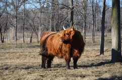 Scottish Cattle in pasture late winter. Red Highland Cattle, in the pasture, with shaggy winter coat, alert stance, curved long horns, muddy legs. The Highland Royalty Free Stock Photo