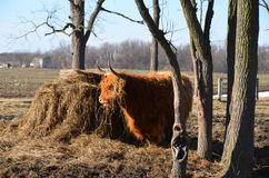Scottish Cattle shaggy coat in end of winter. Red haired Highland Cattle, originated in Scotland by hay mound, with shaggy winter coat, alert stance. The Royalty Free Stock Image