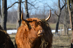 Scottish Cattle standing in pasture with hay draped over horns. Red Highland Cow standing in pasture showing furry coat, muddy legs and long horns. The Highland Stock Images