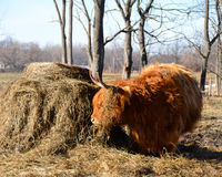 Scottish Cattle standing in pasture with white farmhouse in dist. Red Highland Cow standing in pasture showing furry coat, muddy legs and long horns. The Stock Image
