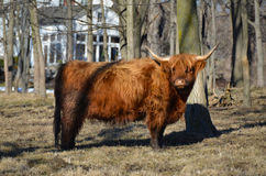 Scottish Cattle standing in pasture with white farmhouse in dist. Red Highland Cow standing in pasture showing furry coat, muddy legs and long horns. The Royalty Free Stock Photography