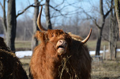 Scottish Cattle stretching neck while eating hay. Red long haired Highland Cattle eating hay from a hay mound in late winter. The Highland breed has lived for Stock Photos