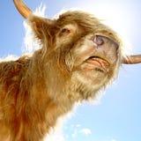 Scottish cattle. Sweet Scottish cattle Royalty Free Stock Image