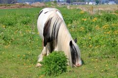 Scottish Clydesdale Horse Grazing in Pasture. Front view of a beautiful Clydesdale horse grazing in the pasture during the summer months royalty free stock photography