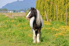 Scottish Clydesdale Stands in Pasture. Full front view of an adult Scottish Clydesdale horse standing in the pasture during the summer months royalty free stock photos