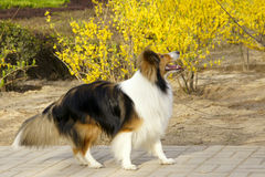 Scottish collie Stock Image