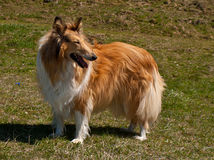 Scottish collie Stock Photography