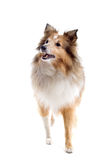 Scottish collie  dog Royalty Free Stock Photo