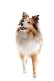 Scottish collie dog royalty free stock photo