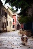 Scottish Collie dog. Closeup of Rough Scottish Collie dog on cobbled street Stock Photo