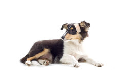 Scottish collie dog puppy royalty free stock image