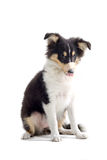 Scottish collie  dog puppy Royalty Free Stock Photo
