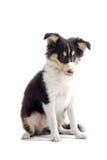 Scottish collie  dog puppy Royalty Free Stock Photo