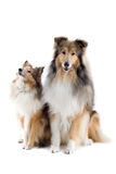 Scottish collie dogs stock photos