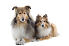 Scottish collie  dogs Stock Images