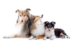 Scottish Collie Dogs Royalty Free Stock Image