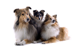 Scottish collie  dogs Royalty Free Stock Photo