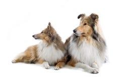 Scottish collie  dogs Stock Image