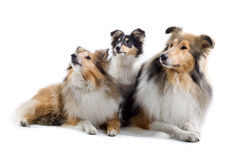 Scottish collie  dogs Stock Photo