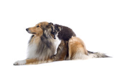Scottish collie  dogs Royalty Free Stock Photography