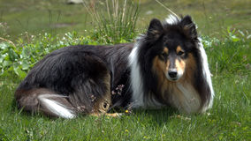 Scottish Collie at play. Scottish (or Scotch, Rough) Collie Royalty Free Stock Image