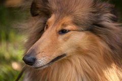 Scottish collie Royalty Free Stock Photography