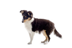 Scottish collie puppy dog royalty free stock images