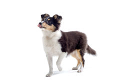 Scottish collie puppy dog Stock Image