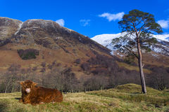 Scottish coo rests on grass royalty free stock photo
