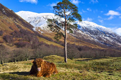 Scottish coo rests on grass. Highland angus cow aka Scottish coo rests on grass with beautiful mountain landscape on background, Highlands, Scotland Stock Photo