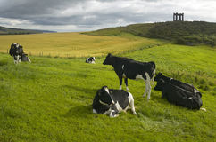 Scottish countryside landscape with cows. Stonehaven. Scotland. Royalty Free Stock Image