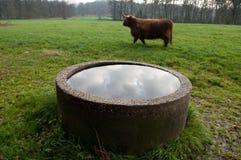 Scottish cow Royalty Free Stock Photos