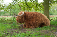 Scottish cow Stock Photos