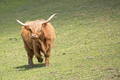 Scottish cow in a clearing Royalty Free Stock Photo