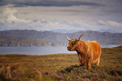 Scottish Cow III. Scottish cow, Isle of Skye, Scotland, UK Stock Image