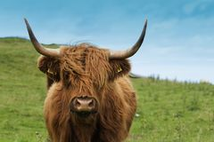 Free Scottish Cow In Green Grass Royalty Free Stock Photography - 101467477
