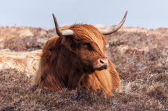 Scottish cow Royalty Free Stock Photo