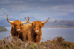 Scottish Cow IV. Scottish hairy cows, Isle of Skye, Scotland, UK Stock Image