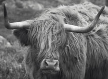 Scottish cow in Lewis isle. Hebrides. UK Royalty Free Stock Photos