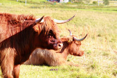 Scottish cow  in Lofoten Stock Photography