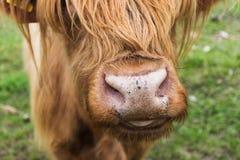 Scottish cow nose Royalty Free Stock Image