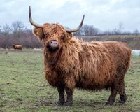 Scottish cow on pasture Royalty Free Stock Photography