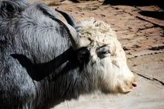 Scottish cow Stock Photography